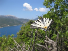 Butterfly overlooking Sami
