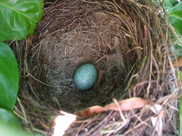 merel blackbird nature natuur connecting communing sound geluid